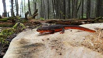 Rough-skinned newt - Rough-skinned newt. Josephine County, Oregon.