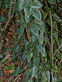 Rough Bindweed (Smilax aspera) (15725130248).jpg