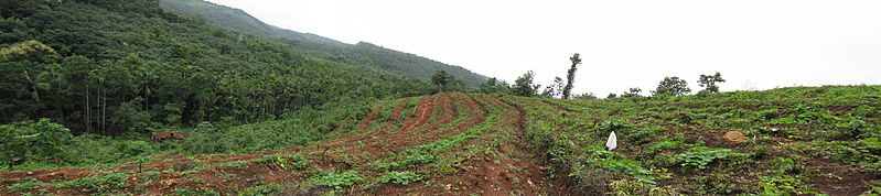 File:Rubber-plantation-Panorama-in Koovery-1.jpg