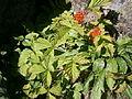 Rubus saxatilis 001.jpg