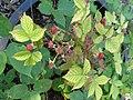 Rubus sulcatus - Botanischer Garten, Frankfurt am Main - DSC02454.JPG