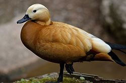 Ruddy Shelduck (7187671456).jpg