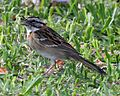 Rufous-collared Sparrow (Zonotrichia capensis).jpg