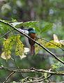 Rufous-tailed Jacamar (Galbula ruficauda) (5819553746).jpg