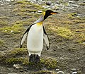 SGI-2016-South Georgia (Fortuna Bay)–King penguin (Aptenodytes patagonicus) 01.jpg