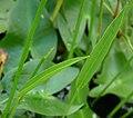 Sagittaria aginashi young leaves.JPG