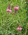 Sainfoin - Onobrychis viciifolia (35835101275).jpg