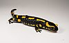 Salamandra salamandra MHNT 1.jpg