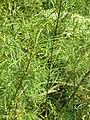 Salix rosmarinifolia00.jpg