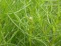 Salsola tragus (not S. kali) (4050281570).jpg