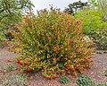 Salvia gesneriflora, Christchurch Botanic Gardens, Canterbury, New Zealand 03.jpg