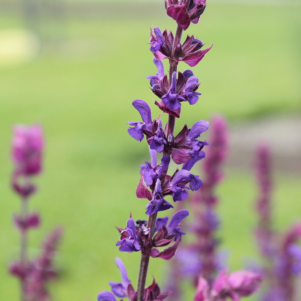 salvia nemorosa wikipedia. Black Bedroom Furniture Sets. Home Design Ideas