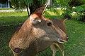 Sambar deer, Khao Yai, Thailand.jpg
