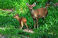 Samber Deer with Fawn.jpg