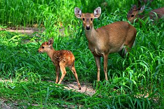 Sambar deer - Sambar doe with fawn