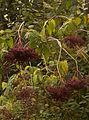 Sambucus-nigra-subsp-canadensis.jpg
