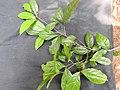 Sanjappa cynometroides-3-rosamalai-keralaIndia.jpg