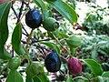 Santalum freycinetianum (4969543641).jpg