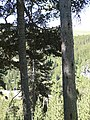 Saprows woodpecker.jpg