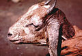 Sarcoptic-mange-head-of-goat-2.jpg