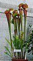 Sarracenia flava rubricorpora Exhibition of Carnivorous Plants Prague 2015 1.jpg