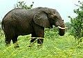 Savanna Elephant (Loxodonta africana) bull ... (51122536364).jpg