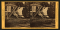 Sawing section of the Original, 75 (ft.) cir. California, Mammoth Grove, by Muybridge, Eadweard, 1830-1904.png