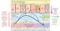 Scambio di liquidi tra capillari e interstizio.png