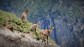 Scientific monitoring of ibex in Vanoise National Park, France (2).jpg