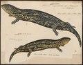Scincus nigroluteus - 1700-1880 - Print - Iconographia Zoologica - Special Collections University of Amsterdam - UBA01 IZ12600053.tif
