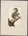 Sciurus vulgaris - 1700-1880 - Print - Iconographia Zoologica - Special Collections University of Amsterdam - UBA01 IZ20400015.tif