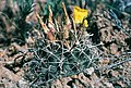 Sclerocactus cloverae fh 49 NM BB.jpg