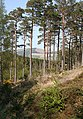 Scots Pines - geograph.org.uk - 797147.jpg
