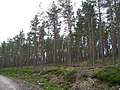 Scots pine Woodland - geograph.org.uk - 768834.jpg