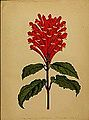 Scutellaria mocinoana.jpg