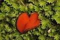 Scutellinia umbrorum (28176313732).jpg