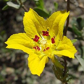Scyphanthus stenocarpus