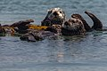 Sea Otters (Enhydra lutris), from a raft of about 15, (8625971289).jpg