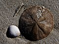 Sea Shells Sand dollar. (10181380376).jpg