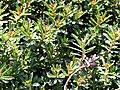 Sedum kamtschaticum a1.jpg