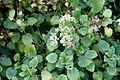 Sedum populifolium (Hylotelephium populifolium) - Bergianska trädgården - Stockholm, Sweden - DSC00528.JPG