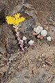 Sedum spathulifolium 4832.JPG