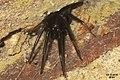 Segestria florentina No.5 (FG) (33010226365).jpg