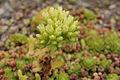 Sempervivum globiferum-IMG 4204.jpg