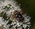 Sericomyia silentis (female) - Flickr - S. Rae (2).jpg