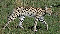 Serval (3076183690).jpg