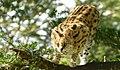 Serval (Leptailurus serval) female ...(captive specimen) (32879053748).jpg