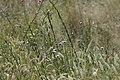 Sesanum triphyllum.jpg