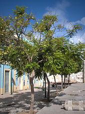 Palisanderbaum im regenwald  Palisanderholzbaum – Wikipedia