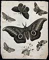 Seven insects of the order Lepidoptera, with four scale-cove Wellcome V0020562ER.jpg